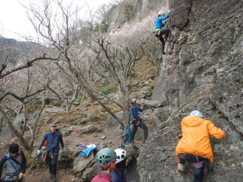七分咲きの湯河原公園 幕岩