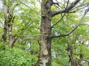 北丹沢大室山のブナ林